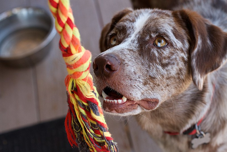 A dog stares at a multicolored rope dangled in front of his face