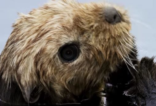 spycam disguised as an adorable sea otter