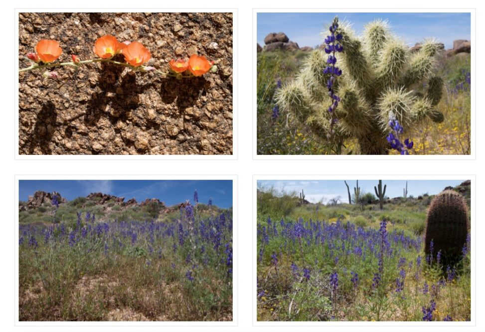 Collage of the 4 images shown in this entry, a row of orange desert mallow, a teddy bear cholla cactus, and two images of desert lupine